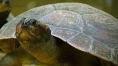 Tortuga del amazonas reaparece en Brasil solo donde los vigilantes son locales