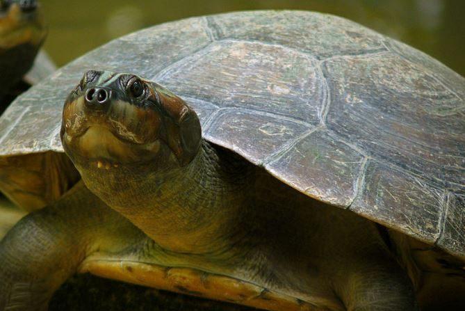 Tortuga arrau o tartaruga del amazonia. (Wikimedia)