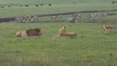 Perro rabioso busca pelear con dos leones y ninguno le hace caso ¿Tuvieron miedo?