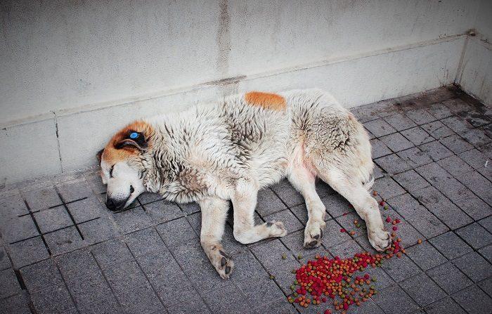 Perro callejero  CC0