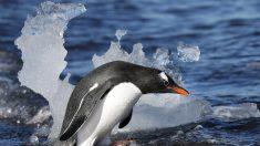 La fauna antártica está amenazada por patógenos dispersados por los humanos
