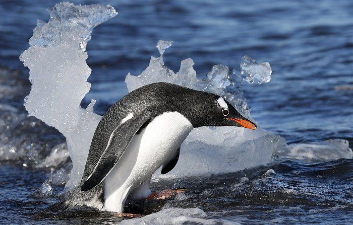 """Fotografía del 21 de febrero de 2013 que muestra a un pingüino Papua adentrándose en el mar en la isla Livingston, en el archipiélago de las Islas Shetland del Sur, Antártida. La supervivencia de la fauna en el """"continente helado"""", que posee la mayor reserva de agua dulce de la Tierra y el 90 por ciento de todo el hielo del planeta, se ve amenazada por el cambio climático, especialmente en la llamada """"Antártica marítima"""", la zona donde se concentra la mayor parte de las especies. EFE/Felipe Trueba"""