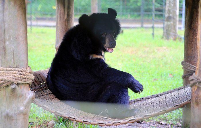 Nueve personas han sido detenidas en diferentes condados del norte de Florida por atrapar y maltratar a osos negros y luego publicar videos de los ataques en las redes sociales, informaron hoy las autoridades estatales.. EFE/ Luong Thai Linh
