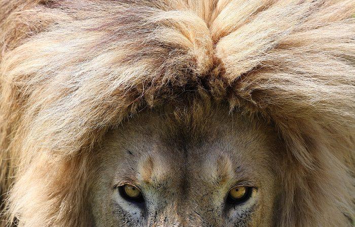 Un león del zoológico Conservators Center de Burlington (Carolina del Norte) mató este domingo a una mujer de 22 años cuando la joven limpiaba uno de los recintos de estos mamíferos, indicó hoy el parque. EFE/Kim Ludbrook