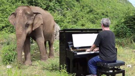 Elefantes se enternecen al escuchar música clásica interpretada por el pianista Paul Barton