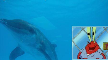 11 delfines comparten su afición por Bob Esponja: están muy entretenidos frente a la tele