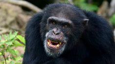 Chimpancé escapa y lo filman pateando con furia a un empleado de un zoo en China