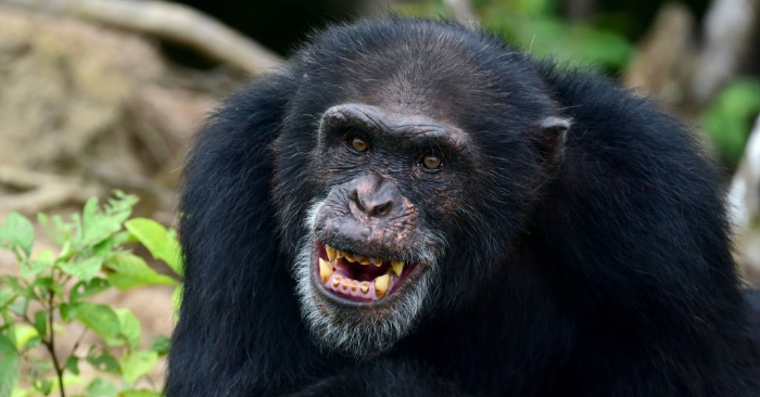 Foto tomada el 29 de junio de 2015 que muestra un chimpancé de la Isla de los Monos, una colonia de monos utilizados para investigaciones médicas, cautivos en un atolón en las profundidades de la selva del sur de Liberia. (Crédito de ZOOM DOSSO/AFP/Getty Images)