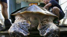 Aparece muerta en playa española tortuga laúd, la más grande del mundo