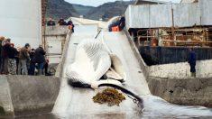 Japón reanudará caza de ballenas en 2019 y abandona organismo internacional de regulación