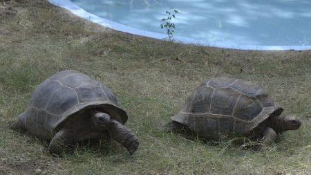 """Estudiar la tortuga """"Solitario Jorge"""", clave para entender longevidad y cáncer"""