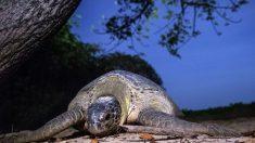 [VIDEO] Rescatan una tortuga en peligro de extinción antes de que fuera cocinada