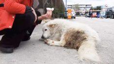 Una perrita con parálisis encuentra un hogar que la llena de amor antes de su último suspiro