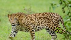 Leopardo hambriento entra a la cocina y arrebata bebé de tres años de su madre en India