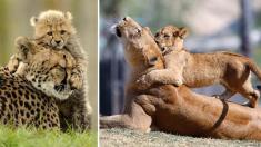 Ser padres requiere de mucha paciencia y estos adorables animales con sus crías lo demuestran