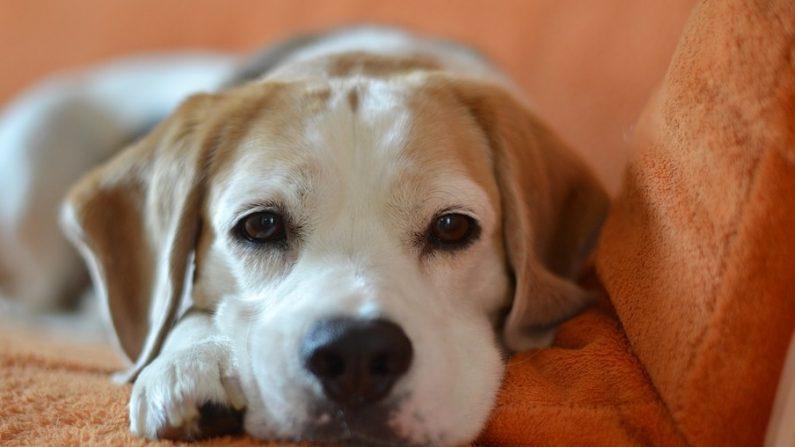 Esta perrita tiene prohibido subirse al sofá. Su intento por salirse con la suya hace reír a todos