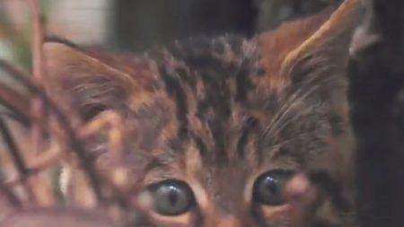 Zoo presenta este tímido bebé de gato montés, una especie que está casi extinta