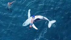 Un drone captura el momento sublime de una ballena bebé haciendo snorkel con dos bañistas