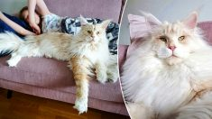 ¡Este gigante gato Maine Coon hechiza las redes sociales con su hermoso pelaje y porte fotogénico!