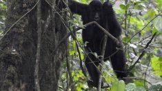 Los gorilas de montaña superan la extinción gracias al trabajo conjunto de varios países
