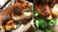 Mira cómo da sus primeros saltos el canguro arbóreo nacido en Australia protegido de la extinción