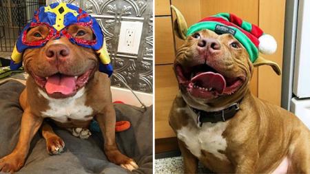 Conoce a Meatball, el bulldog más feliz del planeta que no puede dejar de sonreír