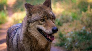 Inusual aumento de muertes de lobos mexicanos amenaza su supervivencia