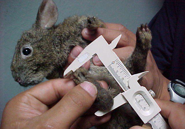 La expansión de la Ciudad de México está provocando una disminución en la población del teporingo, un conejo endémico del país que se encuentra en peligro de extinción, dijo a Efe la veterinaria y zootecnista Aurora Ramos. EFE/Rogelio Campos Morales