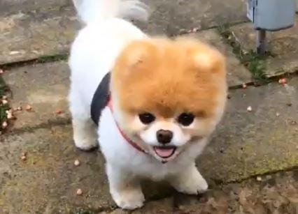 Apenado por la partida de Buddy el perrito fallece el perrito Boo (Captura de vídeo)