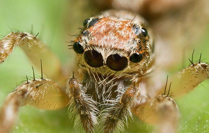Palystes castaneus, una de las múltiples especies que habitan en Australia. (CC) Wikimedia Commons