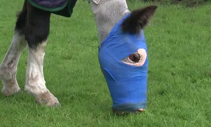"""Cenizas"" pastando, luego de ser el primer caballo en Reino Unido en ser tratado con piel de pescado después de un horrible ataque con ácido. (YouTube Captura de pantalla | ITV News)"
