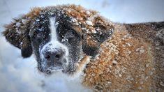 Este San Bernardo estuvo desaparecido por 17 días y sobrevivió en el frío glacial de la naturaleza