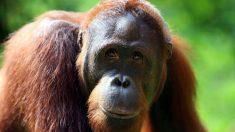 Impresionantes imágenes de un orangután que parece luchar por su vida contra una excavadora