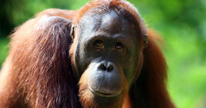 Un orangután en un zoológico en Yakarta, Indonesia. (Foto de Dimas Ardian/Getty Images)
