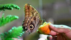 Cuatro especies amenazadas aspiran a convertirse en la mariposa del año 2019