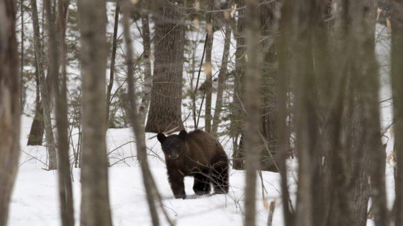Imagen de archivo de un oso negro en una propiedad en New Hampshire, el 29 de marzo de 2018. (Don Emmert / AFP / Getty Images)