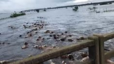 Impactante video: centenares de vacas son arrastradas por las inundaciones en Argentina