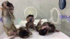 Científicos chinos clonan a monos y editan sus genes para experimentar con enfermedades