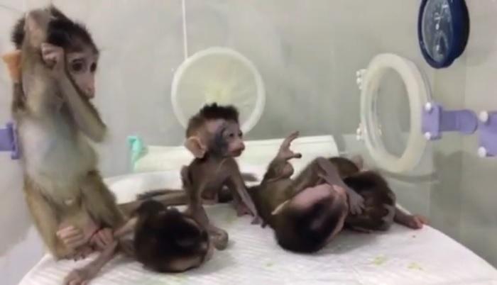 Cinco macacos clonados con trastornos genéticos del sueño, creados por científicos chinos. (Science China Press)