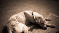 Rescatistas hallan a una perrita cerca de la muerte, pero con amor y cuidado su cambio es asombroso