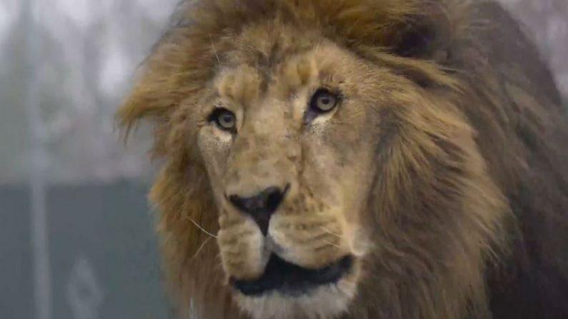 Matthai, el león macho de 14 años, recibió ocho disparos después de haber matado a una trabajadora en el Centro de Conservación de Animales de Carolina del Norte el 30 de diciembre de 2018. (Centro de Conservadores)