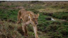 Video revela cómo cuatro leones se apoderan de una transitada carretera en Sudáfrica