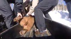 Video: Tranquilizan a cachorros de osos huérfanos y los llevan a hibernar