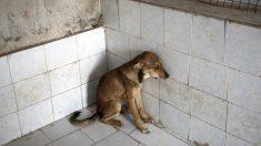 Hallan a un perrito anciano y ciego en grave estado, te emocionará ver su increíble mejoría