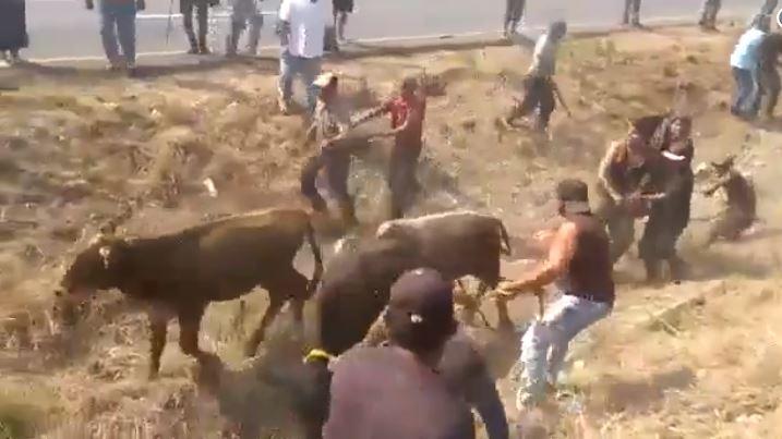 Robo de ganado en carretera de Veracruz el sábado12 de enero de 2019. (Captura de vídeo)