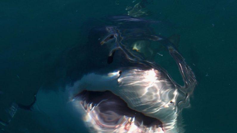 Foto de archivo de un gran tiburón blanco. (Ryan Pierse/Getty Images)