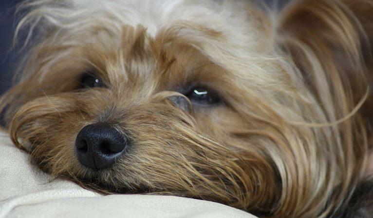 Imagen de archivo de un perro similar a Conan. (Wikimedia)