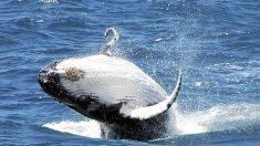 Ballenas azules confían más en memoria que en señales ambientales para caza