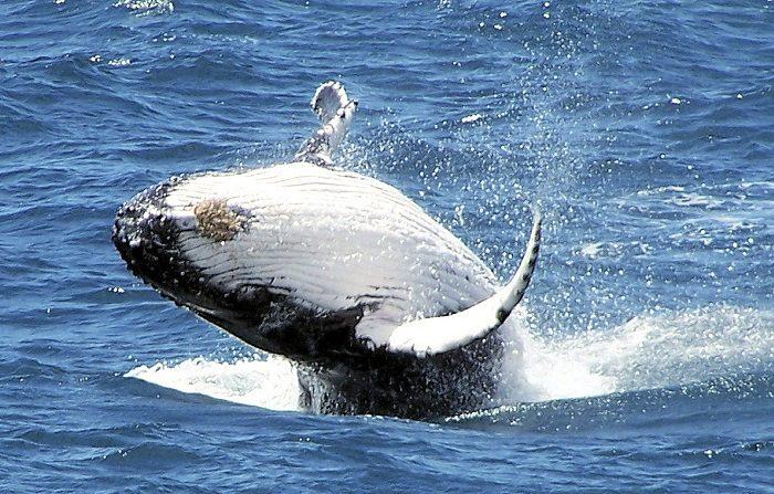 Las ballenas azules que migran por el Océano Pacífico confían más en su memoria que en las señales ambientales oceánicas para encontrar presas y alimentarse, según un estudio publicado hoy en la revista especializada Proceedings of the National Academy of Sciences. (EFE/Dave And Fiona Harvey)