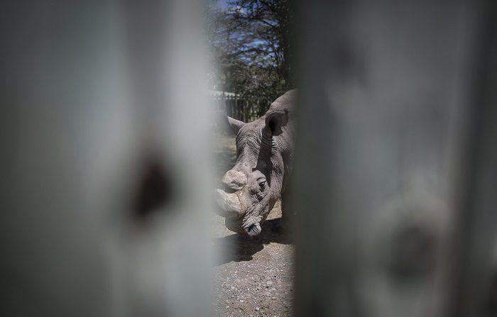 Una cuidadora de animales del zoológico de Jacksonville (Florida) resultó herida de gravedad al ser corneada por un rinoceronte blanco de 50 años de edad durante un entrenamiento rutinario, informaron hoy fuentes de la institución. EFE/Dai Kurokawa